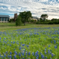 Bluebonnets at the Wildflower Center