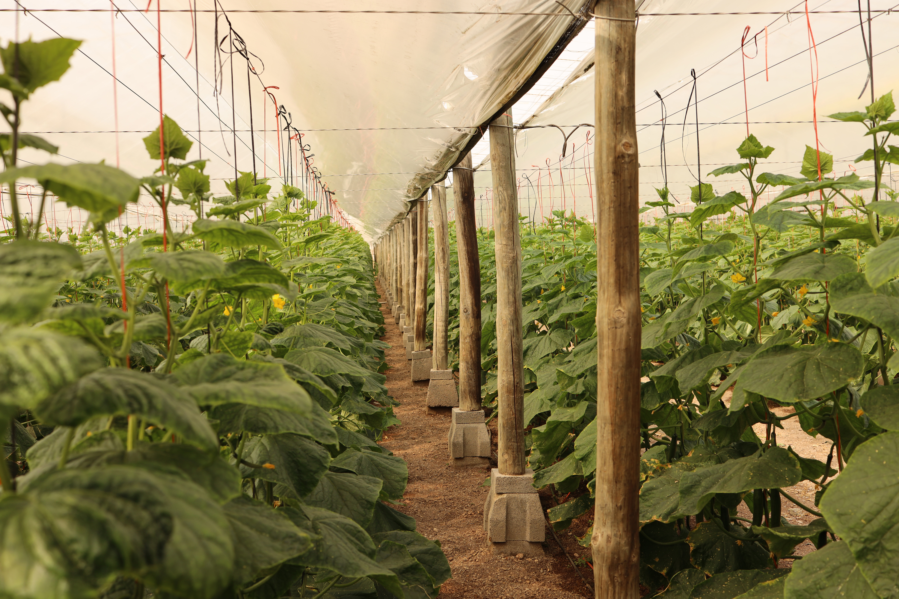 Inside a greenhouse in Almeria Spain looking down a row of plants