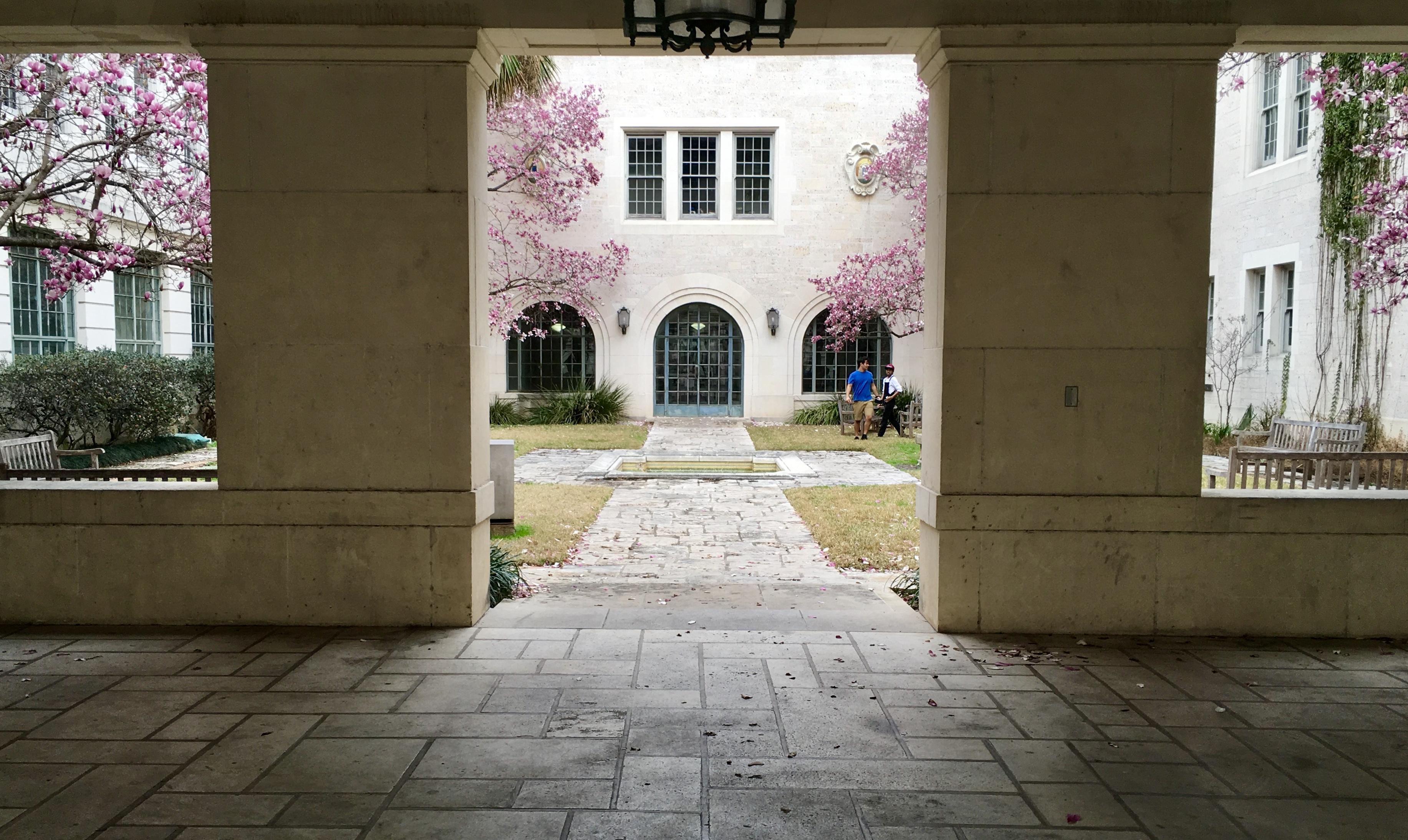 Saucer Magnolias bloom in Goldsmith Hall's Courtyard.