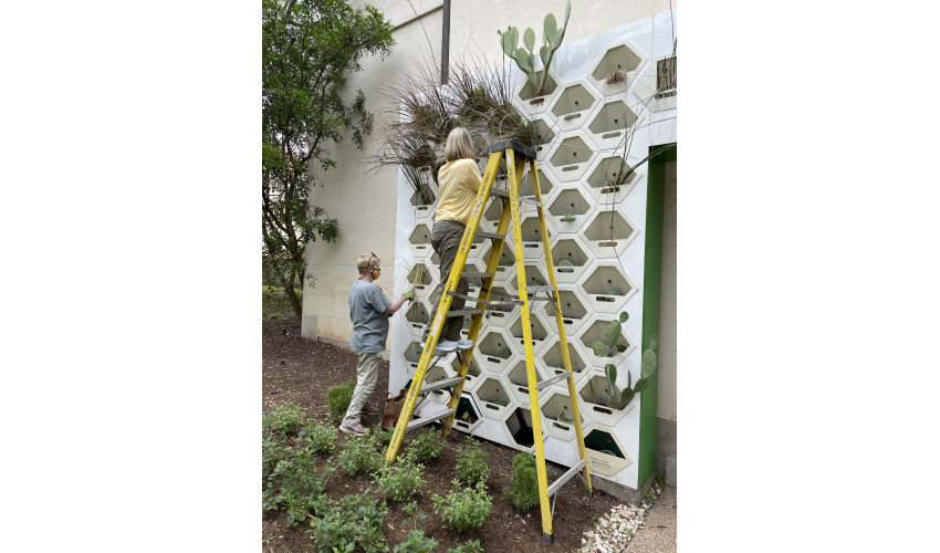 Two women in masks stand outside Goldsmith Hall near the UTSOA Living Wall. One is on the ground, the other is on a yellow ladder, as they plant native plants in the living wall feature.