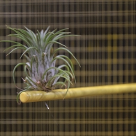 Close-up shot of an air plant sitting in a yellow birdcage, seen from the outside looking through the yellow grates.
